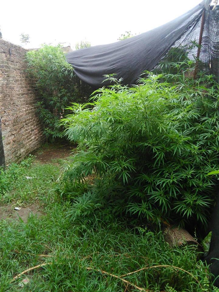 Noticias_chivilcoy_cannabis en la lavalle